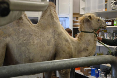 Behandlung Kamel